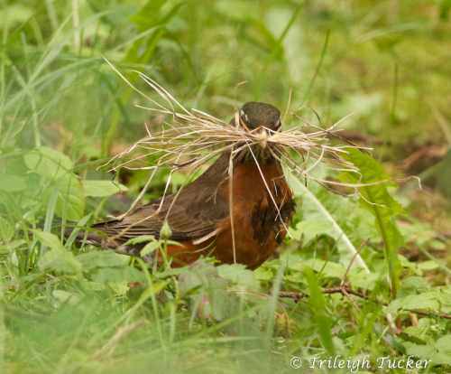 """A robin feathering her nest Has very little time to rest, While gathering her bits of twine and twig..."""