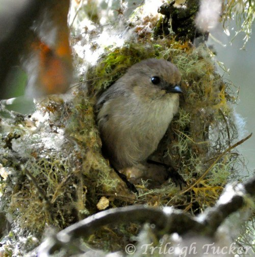 Bushtit male exits nest after weaving material Lincoln Park, West Seattle