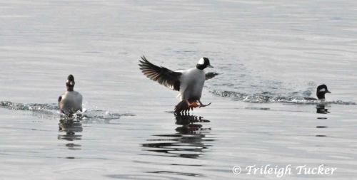 Bufflehead male landing between two females Near Lincoln Park, West Seattle