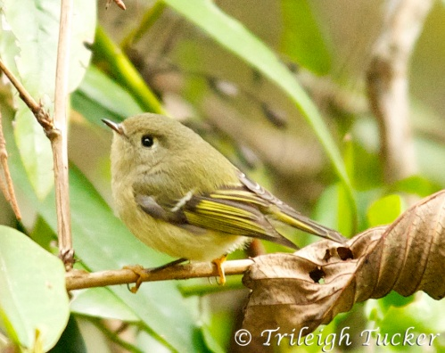 Ruby-crowned Kinglet, Lincoln Park, West Seattle
