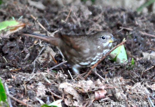 Fox Sparrow (Sooty) Lincoln Park, West Seattle
