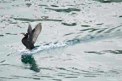 Surf Scoter landing with a dramatic splash Near Lincoln Park, West Seattle