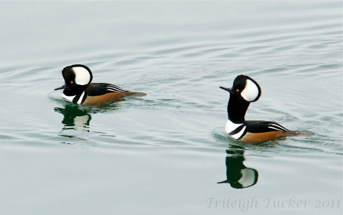 Hooded Mergansers displaying