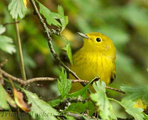 Yellow Warbler Near Lincoln Park, West Seattle
