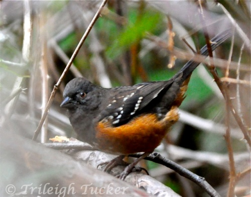 Spotted Towhee Lincoln Park, West Seattle