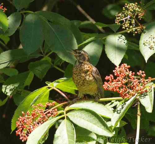 Juvenile Robin in elderberries