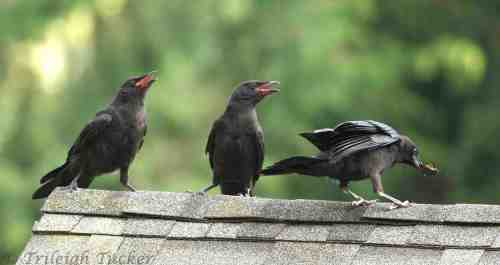 Juvenile crows on rooftop; 2 on left objecting to the one on right having the treasure (a conifer seed)