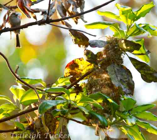 Male Bushtit (upper left) holds decoration as female works inside nest  (Click for 90-sec video of her work)