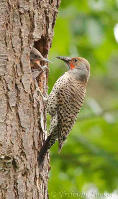 Male Flicker feeds two young - more aggressive one is blocking its sibling