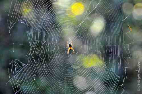 Cross Spider's orb web showing prey damage