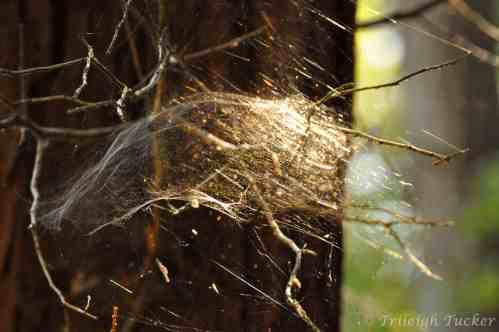 Sierra Dome Spider's web Lincoln Park, West Seattle