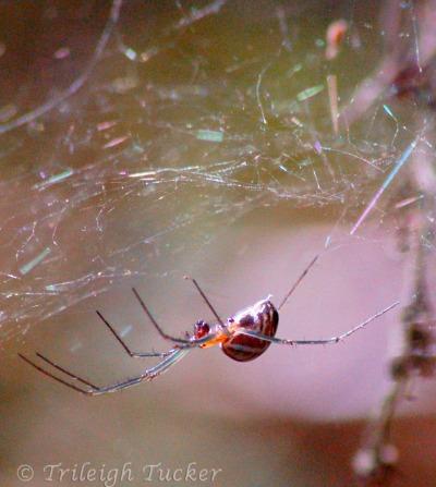 Sierra Dome Spider