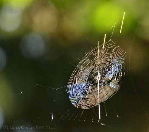 Cross spider's orb web Lincoln Park, West Seattle