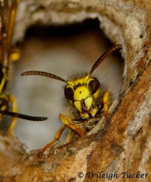 Wasp at nest entrance. Note her vertical mandibles.