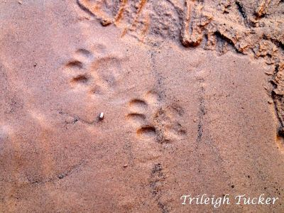 Ringtail cat (Bassariscus astutus) footprints, Grand Canyon