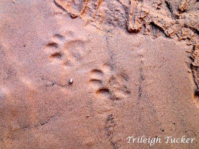 Ringtail cat (Bassariscus astutus) footprints, Grand Canyon