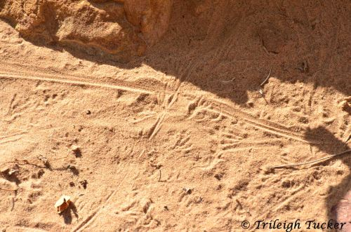 Lizard tracks at busy intersection, Grand Canyon.