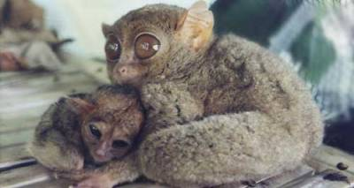 Philippine Tarsier (Tarsius syrichta) with baby Caption and photo from http://commons.wikimedia.org/wiki/File:Babytarsier.jpg