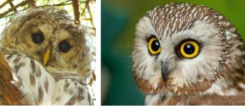 Barred Owl (left), possibly the one who called at 6 am; Northern Saw-whet Owl (right)