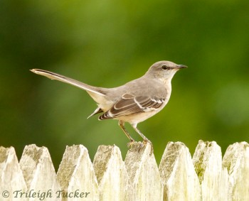 Northern Mockingbird Williamsburg, VA