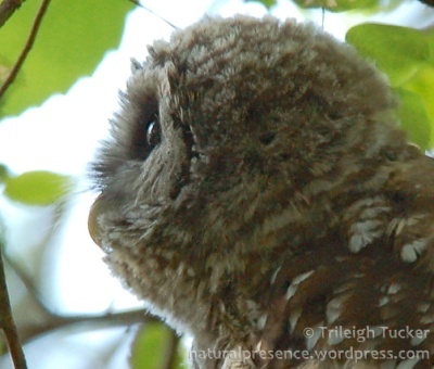 Juvenile Barred Owl showing corneal curvature