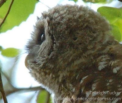 Juvenile Barred Owl showing corneal curvature