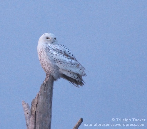 Snowy Owl at sunset Lewis Gut, Bridgeport, CT