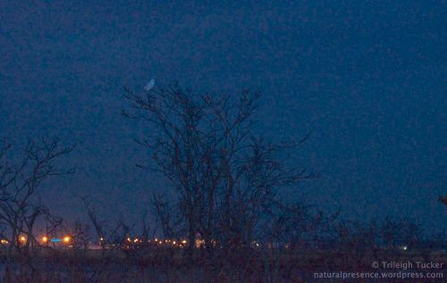 Snowy Owl Bridgeport city lights across salt marsh