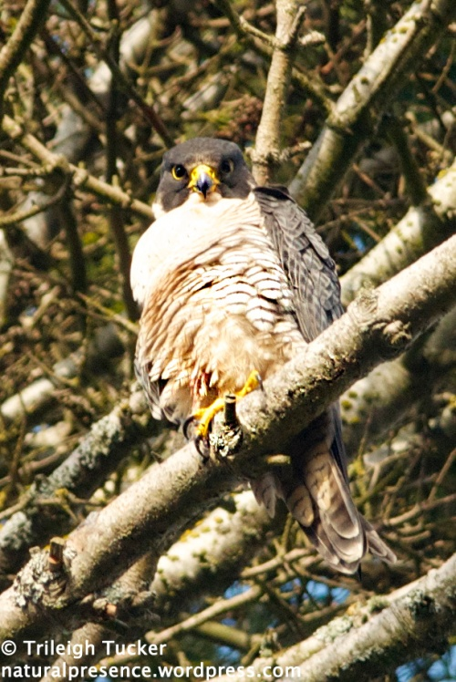 Peregrine Falcon Lincoln Park, West Seattle