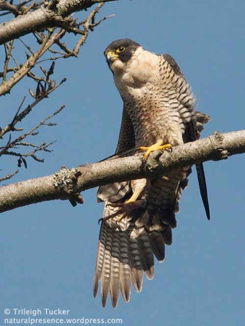 Peregrine Falcon stretching. Lincoln Park, West Seattle