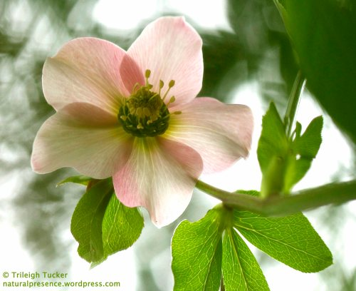 Hellebore blossom from below