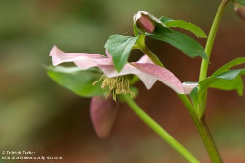 Hellebore blossom and buds