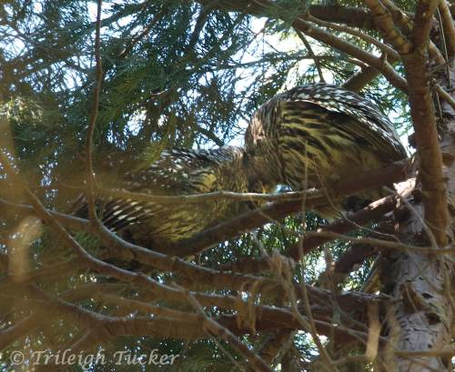 Caught in a kiss! Barred Owls, Lincoln Park, West Seattle