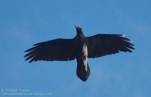 Common Raven. Lincoln Park, West Seattle