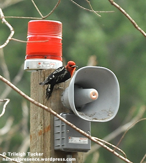 Red-breasted Sapsucker at fire alarm. Pack Forest, Washington.