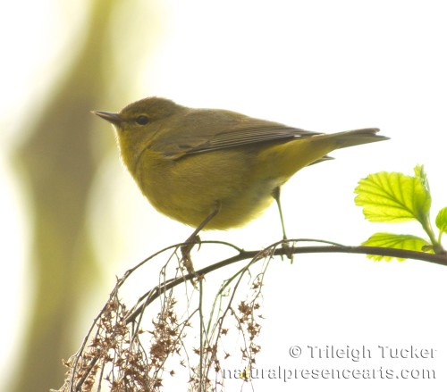 Orange-crowned Warbler on Oceanspray Lincoln Park, West Seattle
