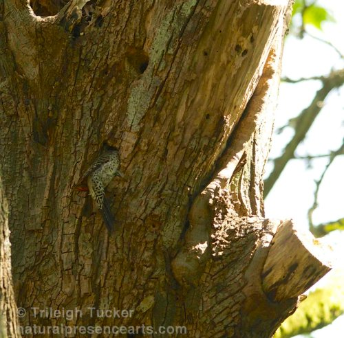 Northern Flicker exploring nest hole Lincoln Park, West Seattle Spring 2014