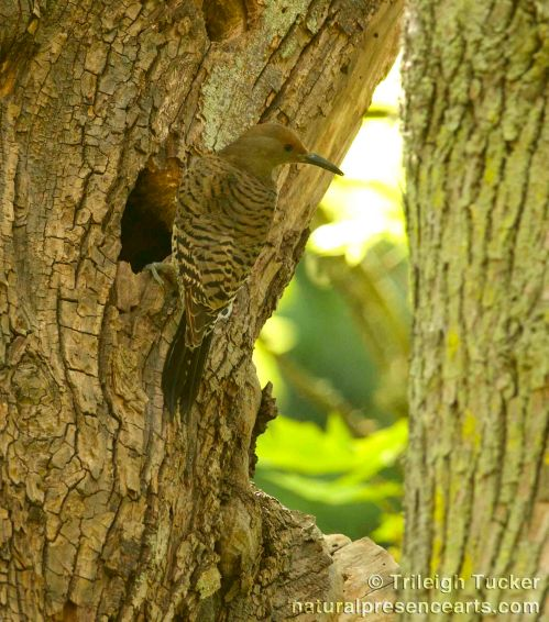 Northern Flicker female at nest hole