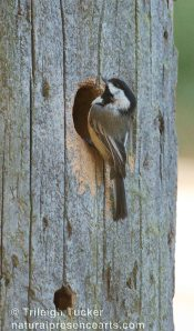 Black-capped Chickadee excavating nest in utility pole (note claw marks below hole)