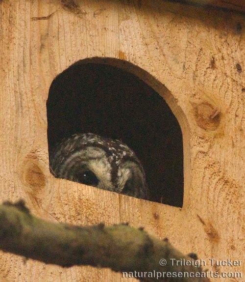 Female Barred Owl in nest box