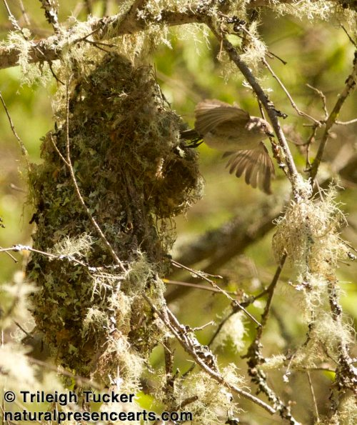 Female Bushtit parent flying from her nest to collect food