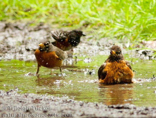 Robins and towhee bathe in one of last remaining puddles