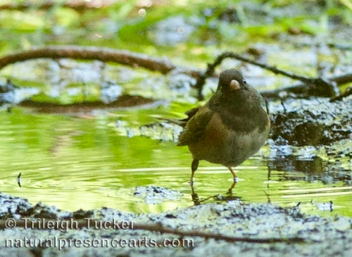 Dark-eyed Junco finally gets a bath
