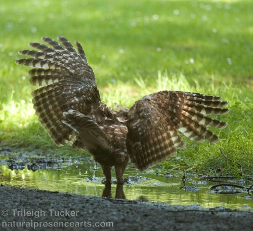 Female owl lands in puddle—finally