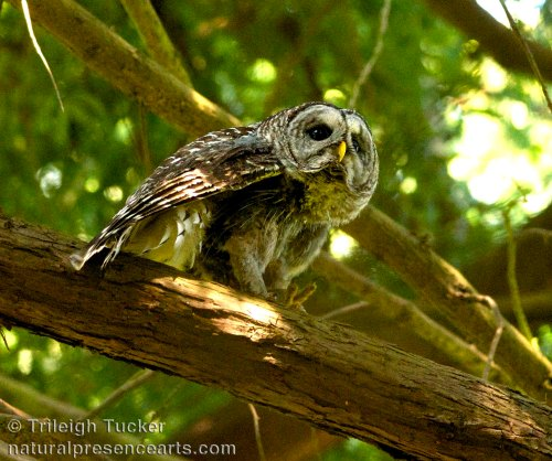 A thirsty Barred Owl eyes the scene