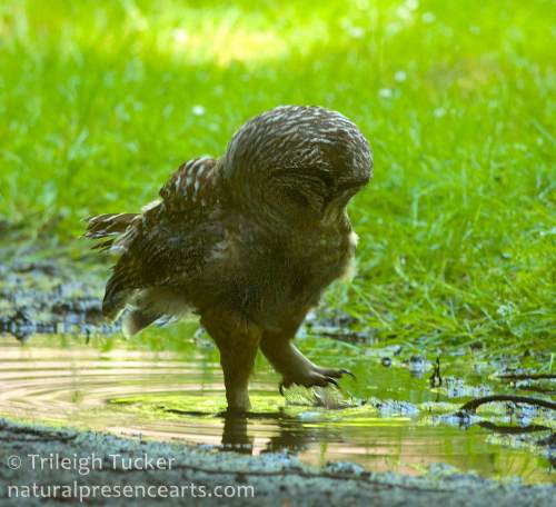 2014-5-26_1412-Owl playing in puddle