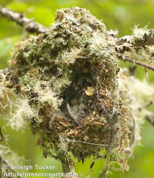 Bushtit nest destroyed