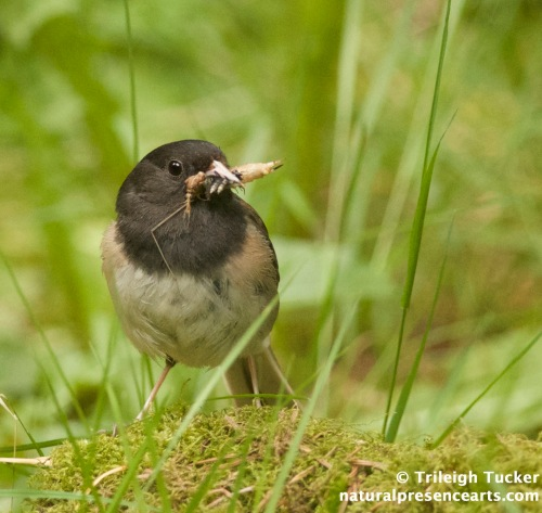 Parent Dark-eyed Junco collects various prey for her young