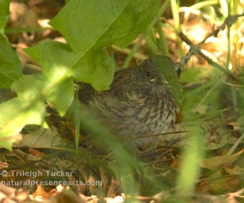Baby Dark-eyed Junco hides under dandelion, waiting for parent to return with food