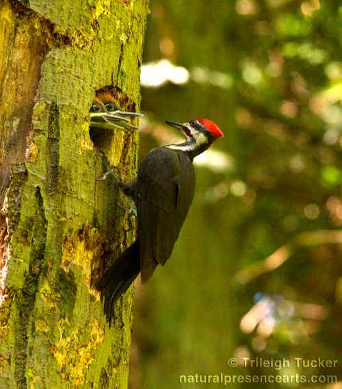 Father Pileated Woodpecker gets ready to feed his daughters